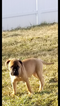 Bullmastiff Puppy For Sale in PIKESVILLE, MD, USA