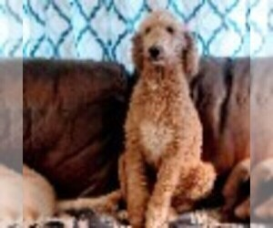 Father of the Labradoodle puppies born on 11/29/2020