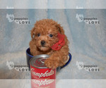 Small #16 Poodle (Toy)