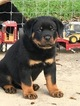 Rottweiler Puppy For Sale in CHAPPELL HILL, Texas,