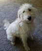 Labradoodle Henry