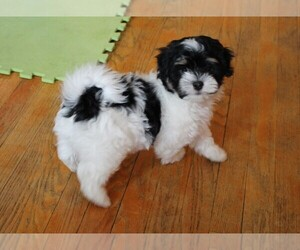 Havanese Puppy for sale in LOUISVILLE, KY, USA