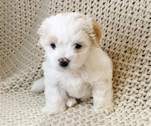 Maltese Puppy for Sale in PORTLAND, Oregon USA