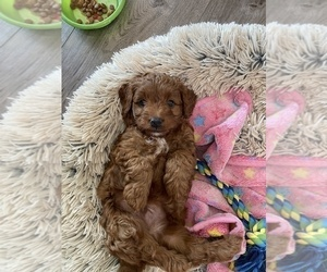 Goldendoodle-Poodle (Toy) Mix Puppy for Sale in MALAD CITY, Idaho USA