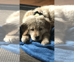 Golden Retriever Puppy for sale in COTTAGE GROVE, OR, USA