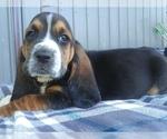 Puppy 2 Basset Hound