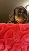 Dachshund Puppy For Sale in DAYTON, OH,