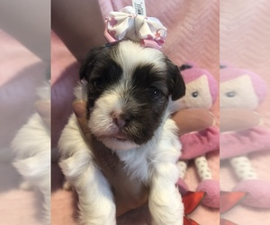 Maltese-Poodle (Toy) Mix Puppy for Sale in SARASOTA, Florida USA