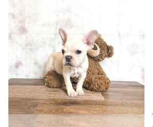 French Bulldog Puppy for Sale in CLEVELAND, North Carolina USA