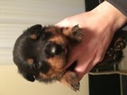 Rottweiler Puppy For Sale in CULVER, OR