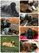 Mastiff Puppy For Sale in EQUALITY, IL