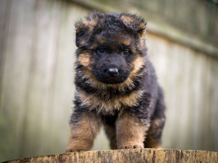 German Shepherd Dog Puppy for sale in VANCOUVER, WA, USA