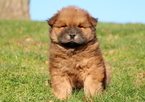 Chow Chow Puppy For Sale in MOUNT JOY, PA,