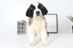 Saint Bernard Puppy For Sale in NAPLES, Florida,
