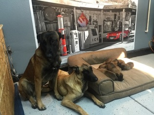 Belgian Malinois Puppy For Sale in FONTANA, CA, USA