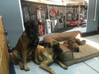 Belgian Malinois Puppy For Sale in FONTANA, CA,