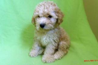 Zuchon Puppy For Sale in PATERSON, NJ