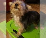 Small #5 Yoranian-Yorkshire Terrier Mix