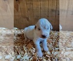 Puppy 2 Pyredoodle