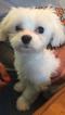 AKC Maltese Puppy