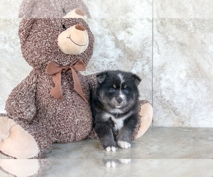 Pomsky Dog for Adoption in CLEVELAND, North Carolina USA