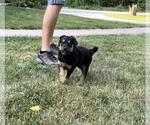 Small #2 English Shepherd-Labrador Retriever Mix