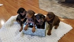 Doberman Pinscher Puppy For Sale in CRAIGVILLE, IN, USA