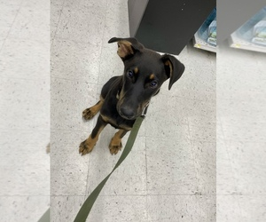 German Shepherd Dog-Rottweiler Mix Puppy for sale in SACRAMENTO, CA, USA