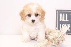Cavachon Puppy For Sale in NAPLES, FL