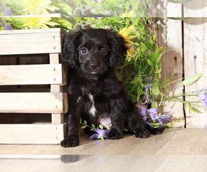 Cavapoo Dog for Adoption in MOUNT VERNON, Ohio USA
