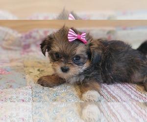Shorkie Tzu Puppy for Sale in MOUNTAIN GROVE, Missouri USA