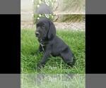 Small #6 Labrador Retriever-Majestic Tree Hound Mix