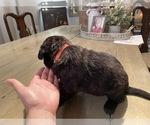 Small #1 Dutch Shepherd Dog