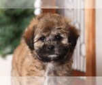 Small #1 Shih-Poo