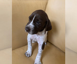 Puppy 8 German Shorthaired Pointer