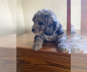 Aussiedoodle Puppy for sale in HAZLETON, IA, USA