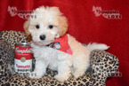 Maltese-Poodle (Toy) Mix Puppy For Sale in SANGER, Texas,