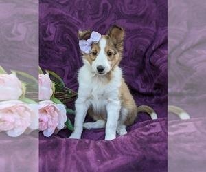 Shetland Sheepdog Puppy for sale in CHRISTIANA, PA, USA