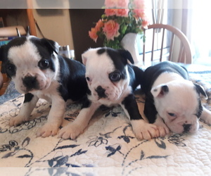 Boston Terrier Puppy for sale in SAINT CLAIR SHORES, MI, USA