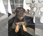 8 German Shepherd Puppies for sale 7 weeks old
