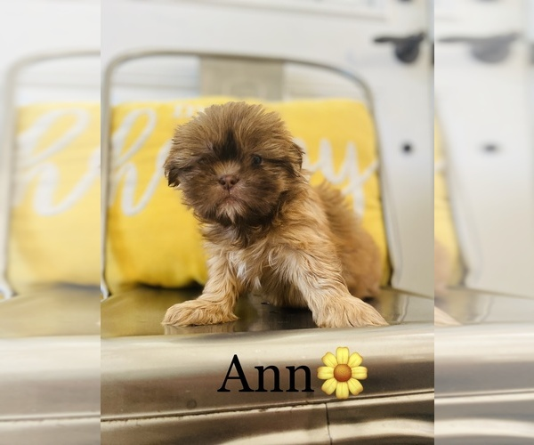 Medium Photo #3 Shih Tzu Puppy For Sale in COOKEVILLE, TN, USA
