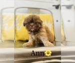 Small Photo #3 Shih Tzu Puppy For Sale in COOKEVILLE, TN, USA