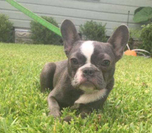 french bulldog pups for sale houston tx view ad french bulldog puppy for sale texas houston usa 7644