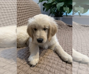Golden Retriever Puppy for Sale in EAST FREEHOLD, New Jersey USA