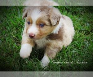 Miniature Australian Shepherd Puppy for sale in SMITHVILLE, AR, USA