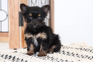 Chorkie Puppy for sale in NAPLES, FL, USA
