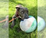 Small #38 Staffordshire Bull Terrier