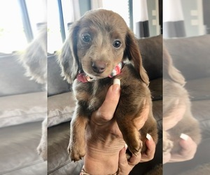 Dachshund Puppy for sale in LINCOLN, NE, USA
