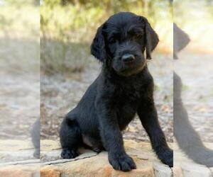 Anglos-Francai Grand-Golden Retriever Mix Puppy for sale in FORT WORTH, TX, USA