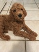 Goldendoodle Puppy For Sale in BRONX, NY, USA